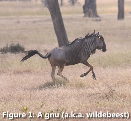 A gnu running through the veldt