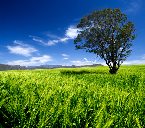 Tree in the middle of a field of green wheat