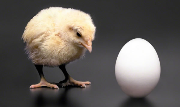 A chick looking at an egg.